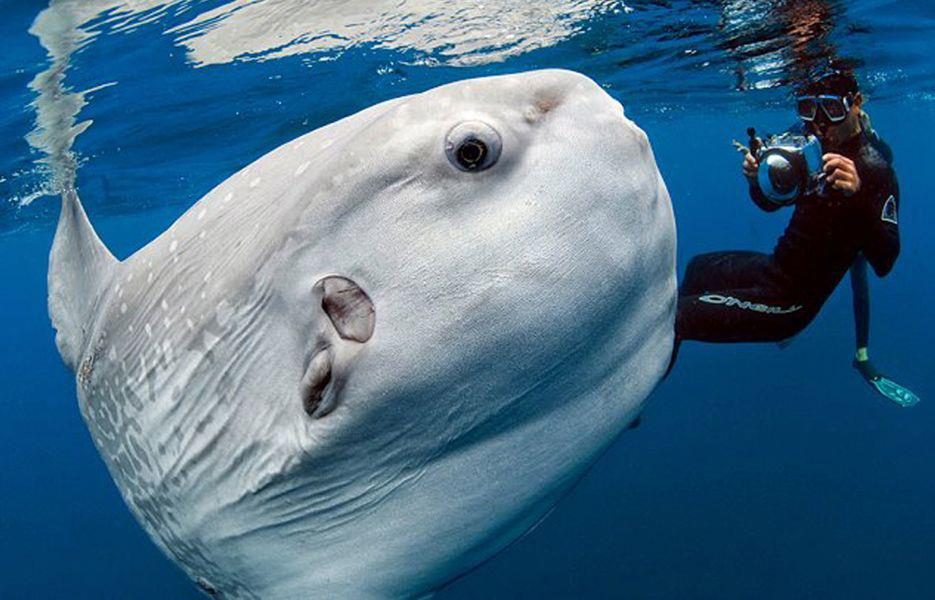 The mola the world s largest bony fish leilaworldblog for Fish world on facebook